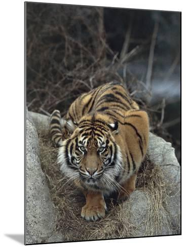 Close-Up of a Sumatran Tiger, Indonesia (Panthera Tigris Sumatrae)-C^ Dani I^ Jeske-Mounted Photographic Print