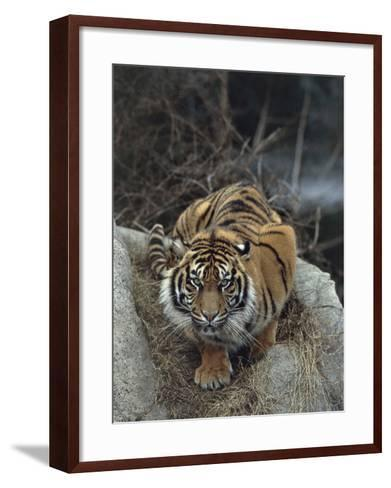 Close-Up of a Sumatran Tiger, Indonesia (Panthera Tigris Sumatrae)-C^ Dani I^ Jeske-Framed Art Print