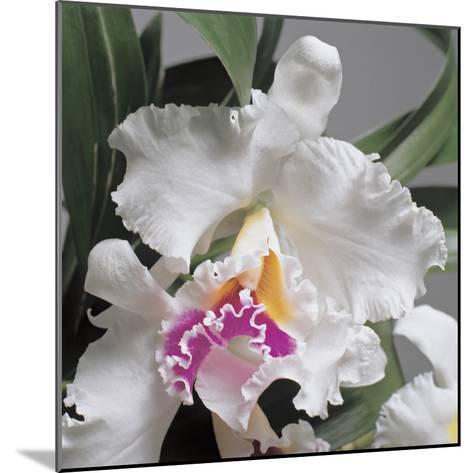 Close-Up of Cattleya Flowers-G^ Cigolini-Mounted Photographic Print