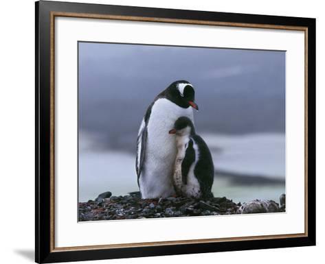 Close-Up of Two Gentoo Penguins, Yankee Harbor, Greenwich Island, Antarctica (Pygoscelis Papua)-C^ Dani I^ Jeske-Framed Art Print