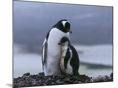 Close-Up of Two Gentoo Penguins, Yankee Harbor, Greenwich Island, Antarctica (Pygoscelis Papua)-C^ Dani I^ Jeske-Mounted Photographic Print