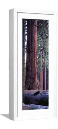 Giant Sequoia, Robert E-Jeff Foott-Framed Art Print