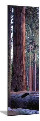 Giant Sequoia, Robert E-Jeff Foott-Mounted Photographic Print