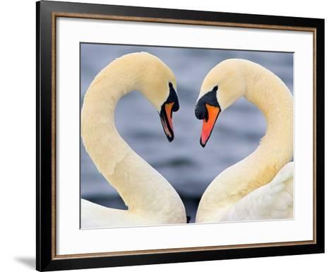 Love Swans-Darren Stone-Framed Art Print