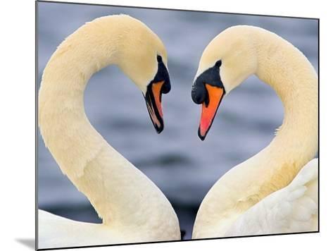 Love Swans-Darren Stone-Mounted Photographic Print