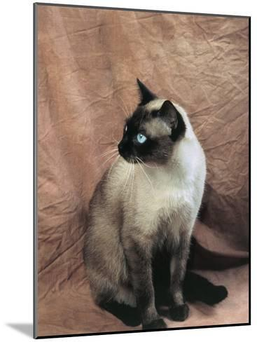 Close-Up of a Chocolate Point Siamese Cat-D^ Robotti-Mounted Photographic Print