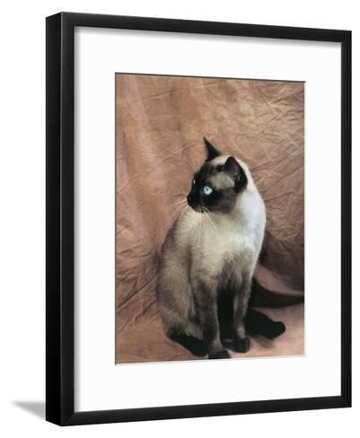 Close-Up of a Chocolate Point Siamese Cat-D^ Robotti-Framed Art Print