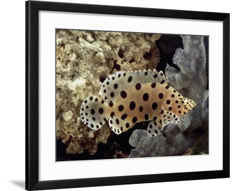 Close-Up of a Panther Grouper Fish Swimming Underwater (Chromileptes Altivelis)-C^ Dani-Framed Art Print