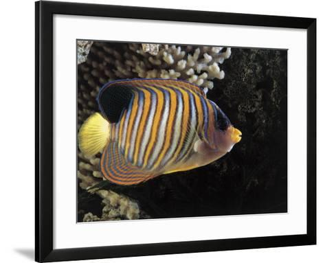 Close-Up of a Royal Angelfish Swimming Underwater (Pygoplites Diacanthus)-C^ Dani-Framed Art Print