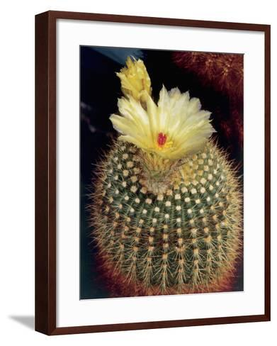 Close-Up of a Tom Thumb Cactus Flowers (Notocactus Mammulosus)-C^ Dani-Framed Art Print