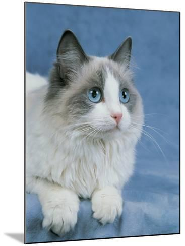 Close-Up of a Blue Bicolor Ragdoll Cat-D^ Robotti-Mounted Photographic Print