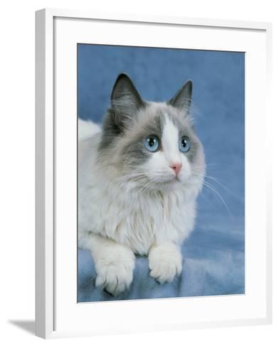 Close-Up of a Blue Bicolor Ragdoll Cat-D^ Robotti-Framed Art Print