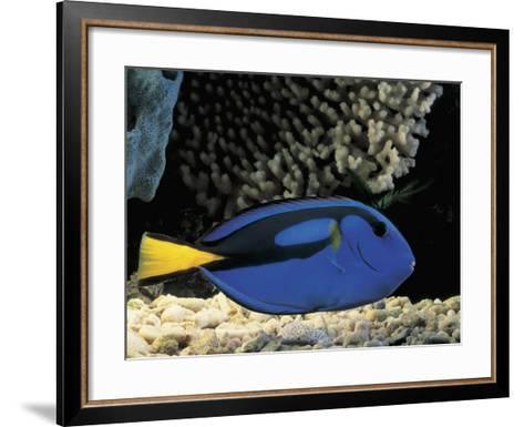 Close-Up of a Surgeonfish Swimming Underwater (Paracanthurus Hepatus)-C^ Dani-Framed Art Print