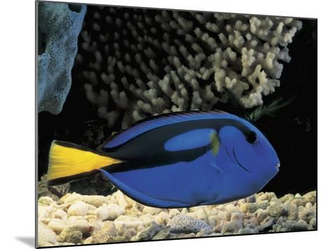 Close-Up of a Surgeonfish Swimming Underwater (Paracanthurus Hepatus)-C^ Dani-Mounted Photographic Print