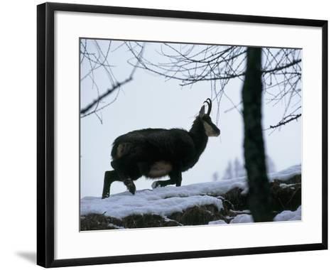 Side Profile of a Chamois Running, Gran Paradiso National Park, Valle D'Aosta, Italy-F^ Liverani-Framed Art Print
