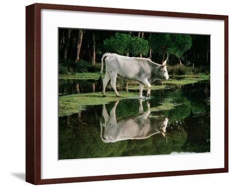 Italy - Tuscany Region - Uccellina Park - Maremma Cow--Framed Art Print