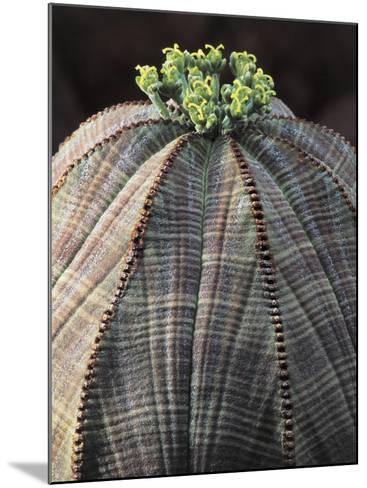 Close-Up of a Baseball Plant (Euphorbia Obesa)-C^ Dani-Mounted Photographic Print
