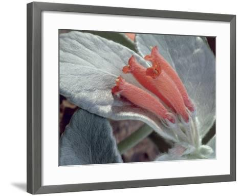 Close-Up of Rechsteineria Leucotricha Flowers-C^ Dani-Framed Art Print