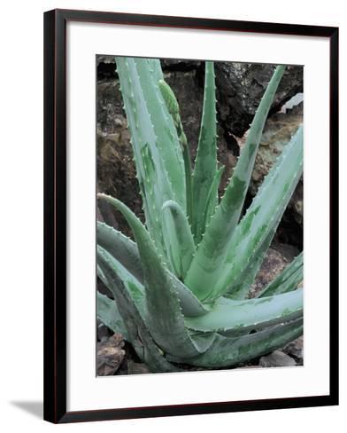Close-Up of an Aloe Barbadensis Miller Plant-C^ Dani-Framed Art Print