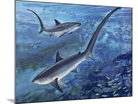 Long Tailed Thresher Shark Swimming Underwater (Alopias Vulpinus)--Mounted Photographic Print