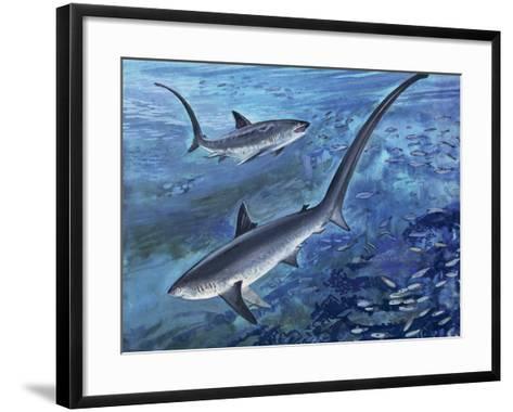 Long Tailed Thresher Shark Swimming Underwater (Alopias Vulpinus)--Framed Art Print