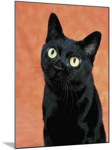 Close-Up of a Bombay Cat-D^ Robotti-Mounted Photographic Print