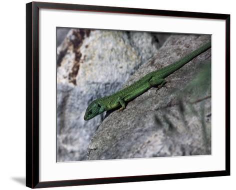 Close-Up of an European Green Lizard (Lacerta Viridis)--Framed Art Print