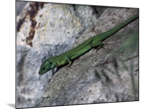 Close-Up of an European Green Lizard (Lacerta Viridis)--Mounted Photographic Print