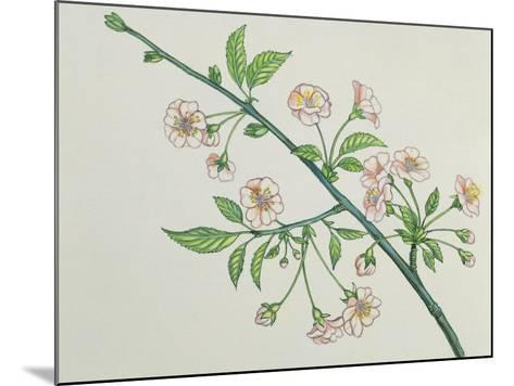 Close-Up of Korean Cherry Blossoms on a Branch (Prunus Japonica)--Mounted Photographic Print