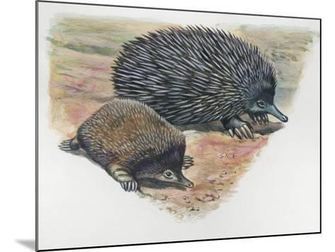 Close-Up of a Short-Beaked Echidna with its Young (Tachyglossus Aculeatus)--Mounted Photographic Print