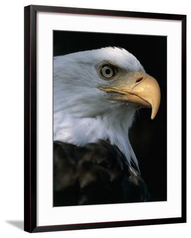 Close-Up of a Bald Eagle, Alaska, Usa (Haliaeetus Leucocephalus)-M^ Santini-Framed Art Print