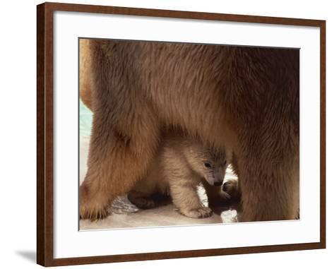 Close-Up of a Polar Bear with its Cub (Ursus Maritimus)--Framed Art Print