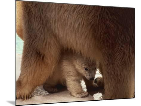 Close-Up of a Polar Bear with its Cub (Ursus Maritimus)--Mounted Photographic Print