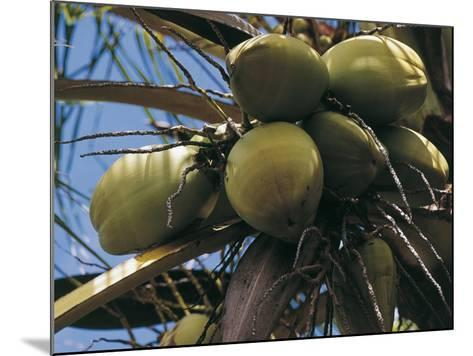 Low Angle View of Coconut Palm Trees (Cocos Nucifera)--Mounted Photographic Print