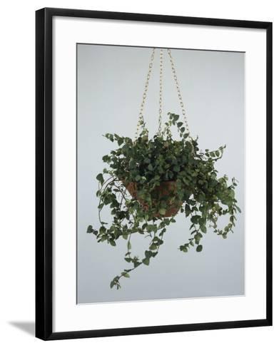 Close-Up of a Climbing Fig Plant Hanging (Ficus Pumila)-C^ Dani-Framed Art Print