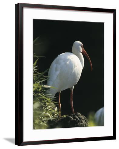 Close-Up of a White Ibis, Usa (Eudocimus Albus)--Framed Art Print