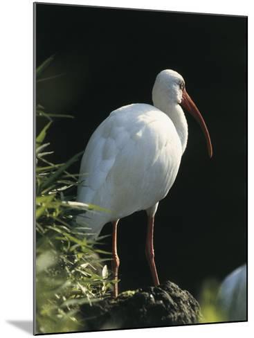 Close-Up of a White Ibis, Usa (Eudocimus Albus)--Mounted Photographic Print
