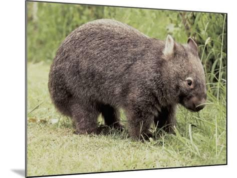 Close-Up of a Common Wombat (Vombatus Ursinus)--Mounted Photographic Print