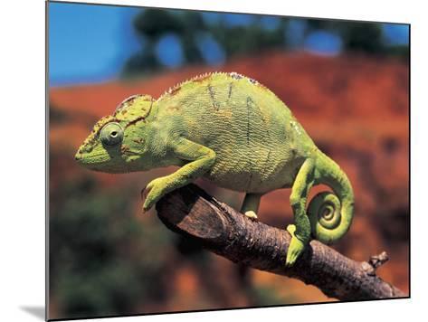 Close-Up of a Female Oustalet's Chameleon (Furcifer Oustaleti)--Mounted Photographic Print