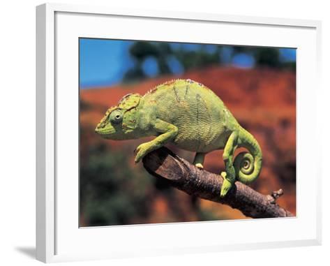 Close-Up of a Female Oustalet's Chameleon (Furcifer Oustaleti)--Framed Art Print