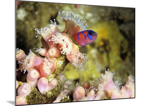 Blue Banded Goby (Lythrypnus Dalli) on Strawberry Sea Anemone, Monterey Bay, California, Usa-Jeff Foott-Mounted Photographic Print