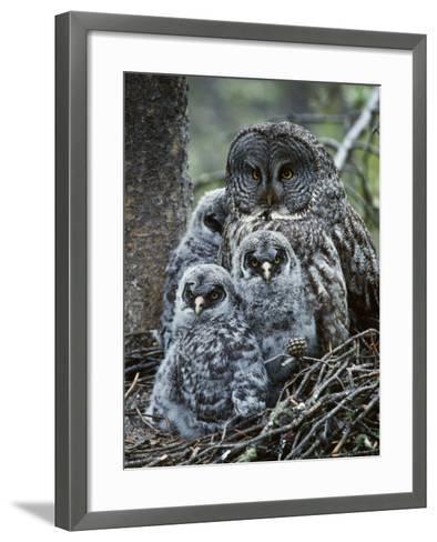 Great Grey Owl Female and Chicks at Nest-Jeff Foott-Framed Art Print