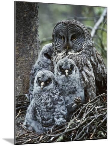 Great Grey Owl Female and Chicks at Nest-Jeff Foott-Mounted Photographic Print
