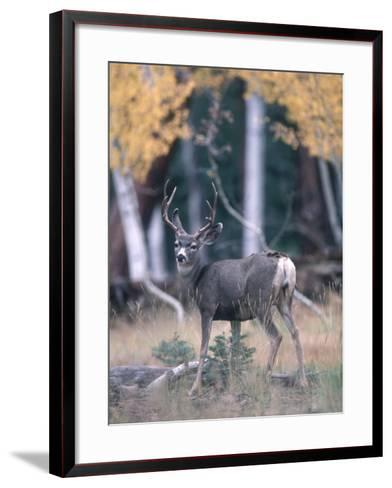 Kaibab Mule Deer Looks Startled While Searching for Food in the Woods-Jeff Foott-Framed Art Print