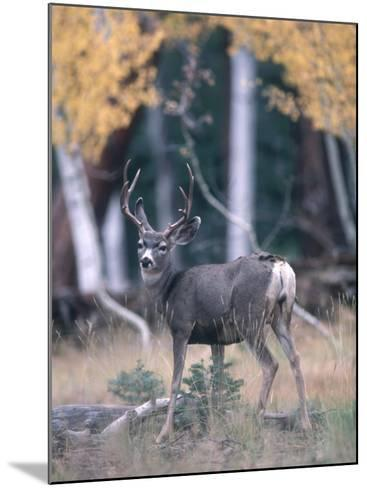 Kaibab Mule Deer Looks Startled While Searching for Food in the Woods-Jeff Foott-Mounted Photographic Print