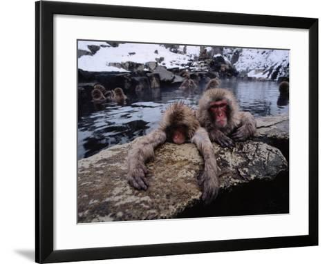 Japanese Macaque/Snow Monkeys are Submersed in Water While Clinging to Rocks-Jeff Foott-Framed Art Print