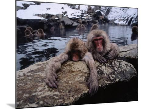 Japanese Macaque/Snow Monkeys are Submersed in Water While Clinging to Rocks-Jeff Foott-Mounted Photographic Print