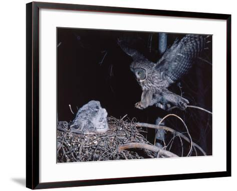 Great Gray Owl Lands on Nest Occupied by Young-Jeff Foott-Framed Art Print