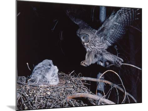 Great Gray Owl Lands on Nest Occupied by Young-Jeff Foott-Mounted Photographic Print