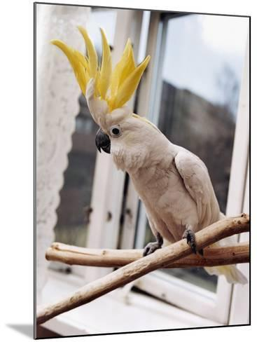 A Cockatoo--Mounted Photographic Print